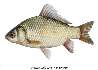 Isolierter Karausche, eine Art Fisch von der Seite. Lebende Fische mit fließenden Flossen. Flussfisch