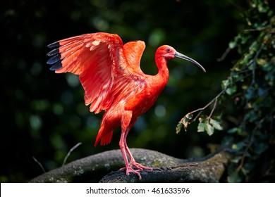美しい赤い鳥、ショウジョウトキ、典型的な環境のEudocimus ruber、広げられた翼、背景としてぼやけた濃い緑色の森。トリニダードを旅するカロニ沼。
