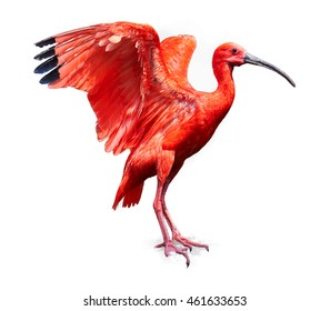 美しい赤い鳥、白い背景で隔離の緋色のトキEudocimusルーバー、黒い端で広げられた赤い翼。側面図。旅するトバゴ。
