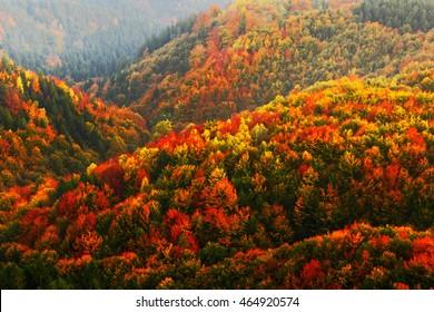 Bosque hermoso del otoño anaranjado y rojo, muchos árboles en las colinas anaranjadas, parque nacional bohemio de Suiza, República Checa.