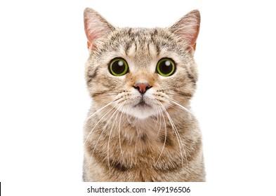 Retrato de un gato sorprendido Scottish Straight, primer plano, aislado sobre fondo blanco.