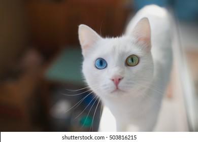 Gato blanco esponjoso con primer plano de ojos diferentes. Gato con ojos azules y verdes