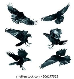 Vogelfliegender gemeiner Raben (Corvus corax) lokalisiert auf weißem Hintergrund. Halloween - mischen Sie sechs Vögel