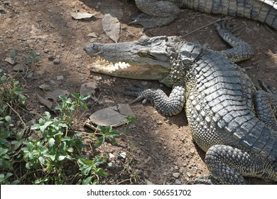 Crocodile laying down on the ground opening its mouth.