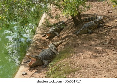Crocodiles laying down on the ground near the pond.