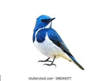 Blauer Vogel, Ultramarine Flycatcher (Superciliaris Ficedula), voll stehend mit Details von Kopf bis Fuß, exotische Natur
