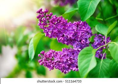 lila lila Busch, der im Mai Tag blüht