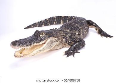 Amerikanischer Alligator, Alligator mississippiensis