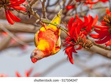 西オーストラリア州パースのサンゴの木(Erythrina sykesii)の花を食べている、中型のオーストラリアのオウムであるゴシキセイガイコ(Trichoglossus haematodus)の色収差。
