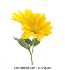 白い背景の上の菊の黄色い花