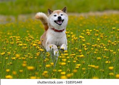 タンポポと柴犬