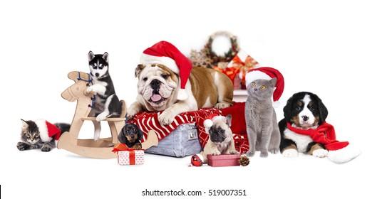 サンタ帽子とバーニーズマウンテンドッグ、フレンチブルドッグ子犬のブルドッグ