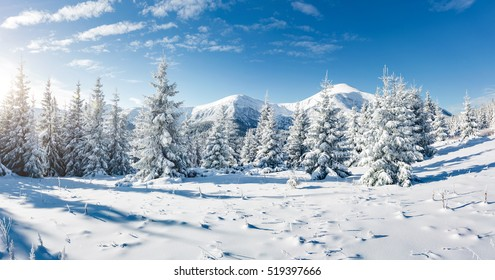 日光で輝く雄大な白いトウヒ。絵のように豪華な冬景色。場所場所カルパティア国立公園、ウクライナ、ヨーロッパ。アルプスのスキーリゾート。ブルー調。明けましておめでとうございます!美の世界。