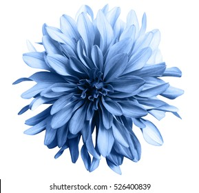 flor azul claro sobre un fondo blanco aislado con trazado de recorte. De cerca. gran flor peluda. para el diseño. Dalia.