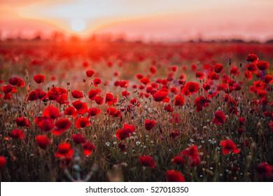 Schönes Feld der roten Mohnblumen im Sonnenuntergangslicht. Russland, Krim