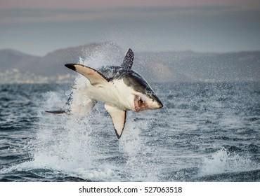 攻撃で違反したホオジロザメ(Carcharodon carcharias)。ホオジロザメ(Carcharodon carcharias)の狩猟。南アフリカ