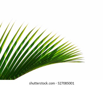 Hojas de palmera sobre fondo blanco.
