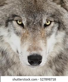 Timber wolf portret. Een close-upfoto van een dreigende wolf met gele ogen