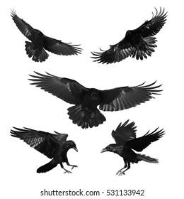 Vögel - mischen fliegende gemeine Raben (Corvus corax) lokalisiert auf weißem Hintergrund. Halloween - mischen Sie fünf Vögel