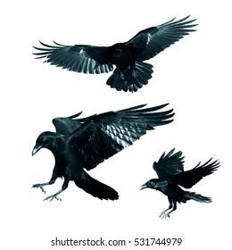 Vögel - mischen fliegende gemeine Raben (Corvus corax) lokalisiert auf weißem Hintergrund. Halloween - mischen Sie drei Vögel