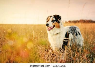 Australian Shepherd puppy on a meadow, 6 months