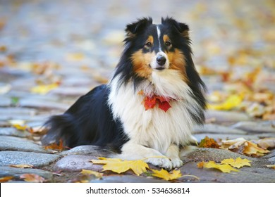 Adorable Sheltie dog lying down outdoors around fallen maple leaves in autumn