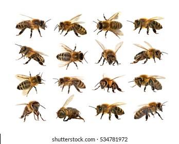 Gruppe von Bienen oder Honigbienen in lateinischer Apis Mellifera, europäische oder westliche Honigbiene isoliert auf dem weißen Hintergrund, goldene Honigbiene