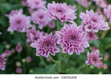 庭に咲く甘いピンクの菊