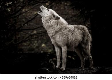 Heulender Wolf im Dunkeln