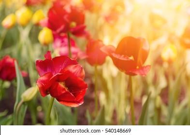 Hermoso campo de tulipanes rojos en primavera, fondo floral natural estacional con sol brillante.