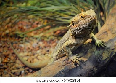 Un joven dragón barbudo en un terrario, apoyado contra un tronco y mirando a la cámara con desdén