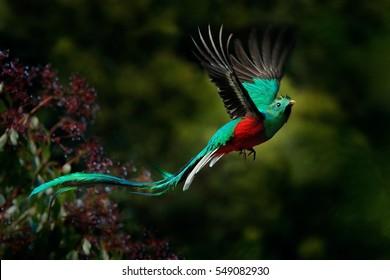 Fliegender prächtiger Quetzal, Pharomachrus mocinno, Savegre in Costa Rica, mit grünem Wald im Hintergrund. Herrlicher heiliger grüner und roter Vogel. Action Flug Moment mit Resplendent Quetzal.