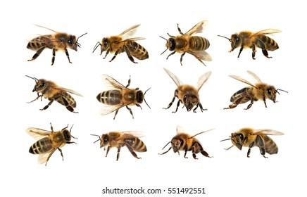 group of bee or honeybee in Latin Apis Mellifera, european or western honey bee isolated on the white background, golden honeybee