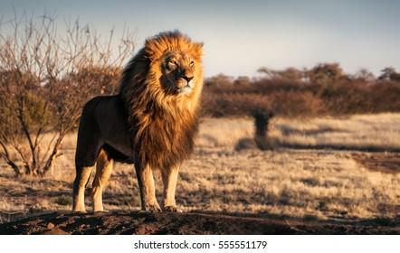 Einzelner Löwe, der königlich steht, der stolz auf einem kleinen Hügel steht