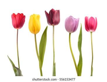 Conjunto de cinco tulipanes de diferentes colores aislado sobre fondo blanco.