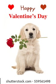 Cute sitting golden retriever puppy dog holding a red rose in his mouth facing the camera on a white background with text Happy Valentine's Day as a wishing card