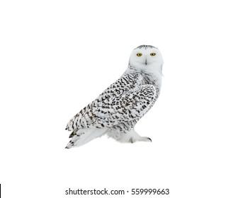 白い背景の上の雪の上に腰掛けて、孤立したシロフクロウ