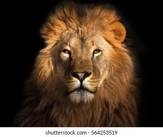 König der Löwen isoliert auf schwarz