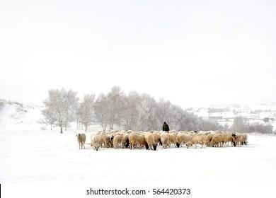 雪の中で羊の群れ、カウボーイは冬の羊の群れを見る