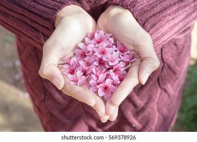 Blätter von Kirschblüten in der Handherzform einer Frau