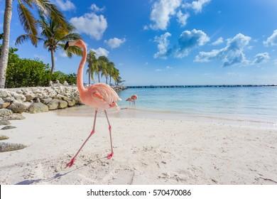 Flamingos am Strand. Aruba Insel