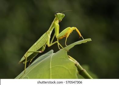 Mantis de la familia Sphondromantis (probablemente Spondromantis viridis) acechando en la hoja verde.Sphodromantis viridis como mascota. Los nombres comunes incluyen mantis africana, mantis africana gigante o mantis arbustiva.