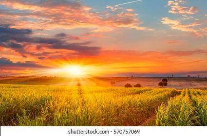 Salida del sol sobre el campo de maíz