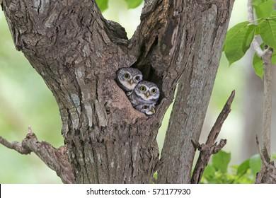 Bird, Owl, Two Spotted owlet (Athene brama) in tree hollow,Bird of Thailand