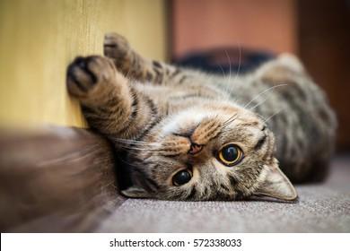 Lindo gato acostado de espaldas sobre la alfombra. Cría caballa británica con ojos amarillos y bigote tupido. De cerca.