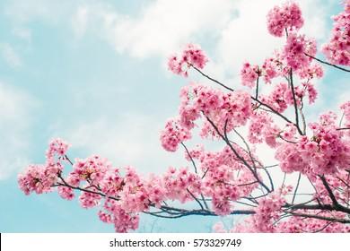 Schöne Kirschblüten-Sakura im Frühling über blauem Himmel.