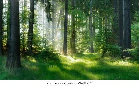 Bosque natural de abetos, los rayos del sol a través de la niebla crean una atmósfera mística