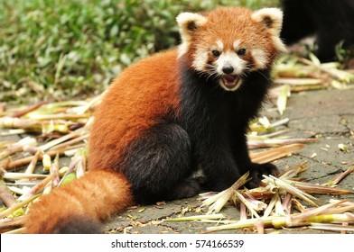 Red panda or firefox in Chengdu, China.