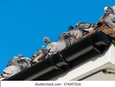 家の屋根に座っていたドバトの写真。
