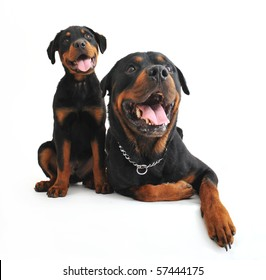 portrait of an adult and a puppy rottweiler on a white background